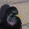 European Starling or  Starling