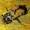 Carrion Beetle with Mites