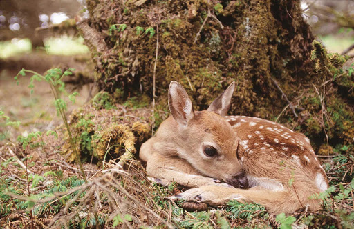 fawn-ecotour-Quebec - Bambi! Get back to nature in Duplessis (Cote-Nord), Quebec, Canada by joining an eco-tour.