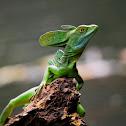 Emerald Basilisk (Jesus Christ Lizard)