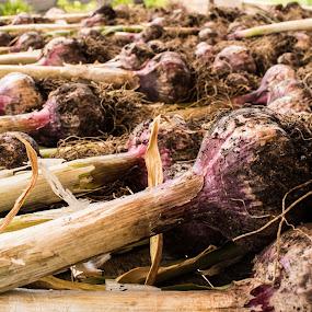 Garlic Harvest by Matt Simner - Nature Up Close Gardens & Produce ( garlic, bulb, harvest, garden, produce )