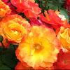 Playboy rose bush
