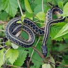 Common Ribbon Snake
