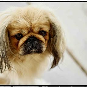 Tiekerbell by Kleintjie Loots - Animals - Dogs Portraits