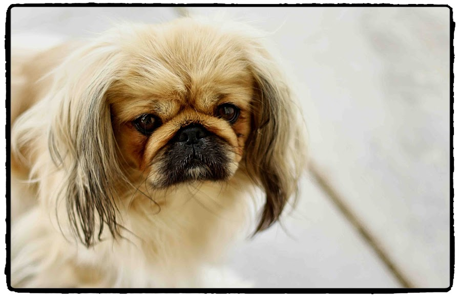 Tiekerbell by Kleintjie Loots - Animals - Dogs Portraits