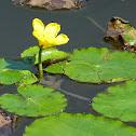 Fringed Water-lily / Seekanne