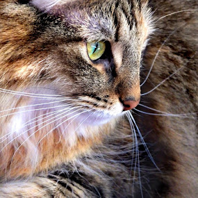 Zora by Sheila Marques - Animals - Cats Portraits