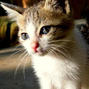 by Amal Vs - Animals - Cats Portraits ( kitten, cat )