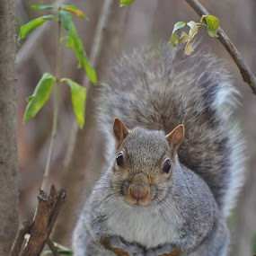 Gray Squirrel by Viana Santoni-Oliver - Animals Other Mammals ( gray squirrel, wildlife, mammal, squirrel, animal )