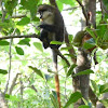 Red tailed Monkey