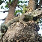 Iguana Guayaca