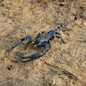 Java Forest Scorpion