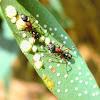 Farmer ants tending stock