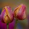050714-BS-Tulip-3-1600px-ss-cln-BCG-D.jpg