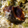 Caracola. Rock shell