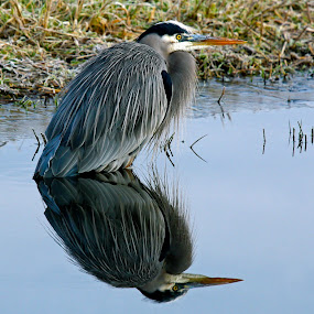 Reflection by Lynne McClure - Animals Birds ( great blue heron, water, reflection, nature, wildlife,  )