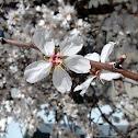 Sweet Almond Tree