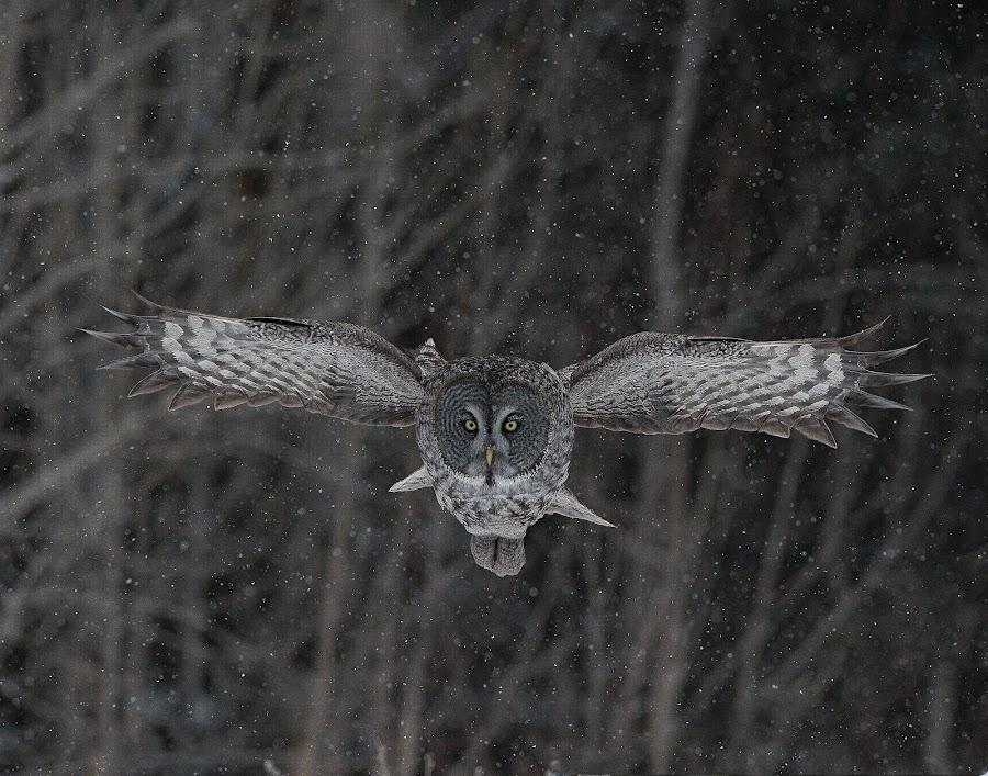 Phantom 2 by Jean Levasseur - Animals Birds ( rapace, bird of prey, great gray owl, owl, raptor, oiseau de proie, chouette lapone )