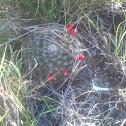 Mammillaria gaumeri