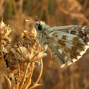 Grizzled Skipper Butterfly / Sljezov pjegavi debeloglavac