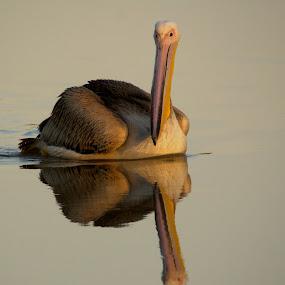 Pelican in gold by Adéle van Schalkwyk - Animals Birds ( bird, isolated, reflection, gold, pelican, swimming )