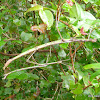 Margin-winged Stick Insect