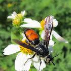 Caribbean Scoliid Wasp