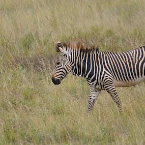 Stripes by Jamie Tambor - Animals Other Mammals ( nature, safari, wildlife, zebra, africa )