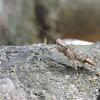 Bark Mantis