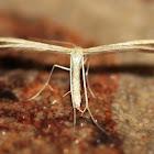Pustule Plume Moth