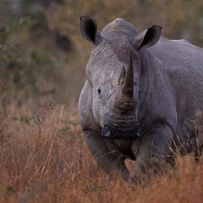 Rhino on edge by Charlene Bacchioni - Animals Other ( wild, bush, horn, big, rhino,  )