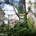 Indian Signature Spider