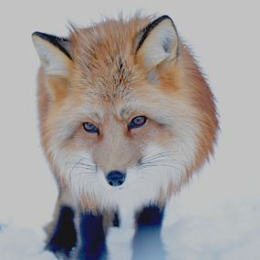 by Kristin Smestad - Animals Other ( rev, rød, fox, vulpes, animal, red fox,  )