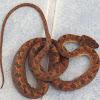 Costa Rican cat-eyed snake