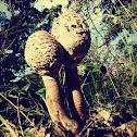 Lepiota sp. / Frade, Guarda-chuva