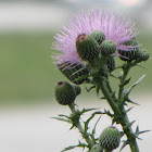 Nuttall's Thistle