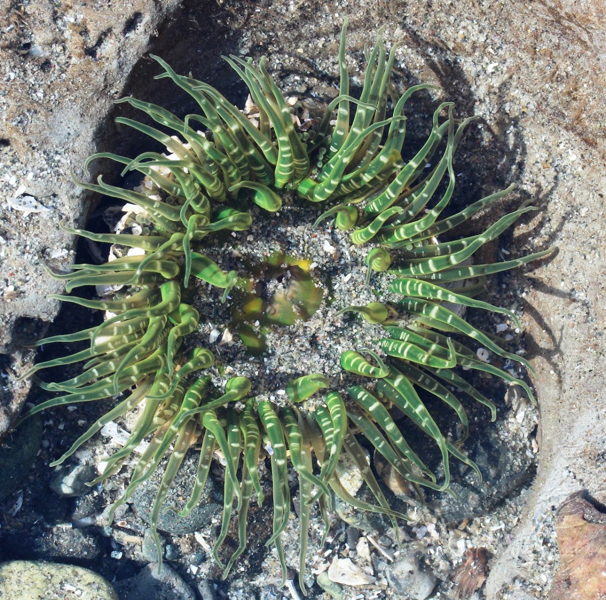 Burrowing anemone