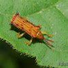 Leaf Miner beetle