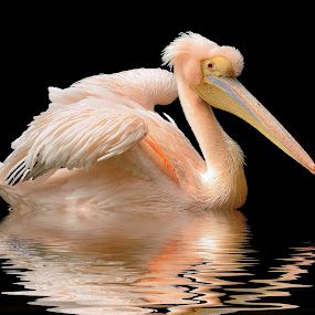 White pelican by Mohamed Mahdy - Animals Birds (  )