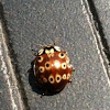 Lady bird beetle (lady bug)