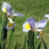 Iris 'Blue Bunting'