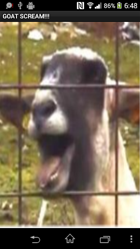 Goat Screaming