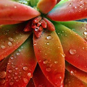 slides by Ruy Lopes - Nature Up Close Other plants ( folhas de cacto molhadas,  )