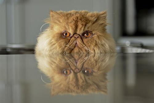 Mug Shot by  J B  - Animals - Cats Portraits ( cats, orange cat, timmy the terminator, reflections, animals - cats, red persina cat, mug shot,  )