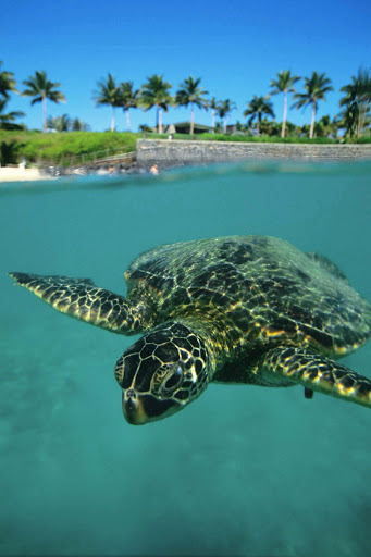 sea-turtle-Hawaii - A green sea turtle, called honu in the Hawaiian language, gets ready for his closeup. Sea turtles have graced the oceans for 75 million years.