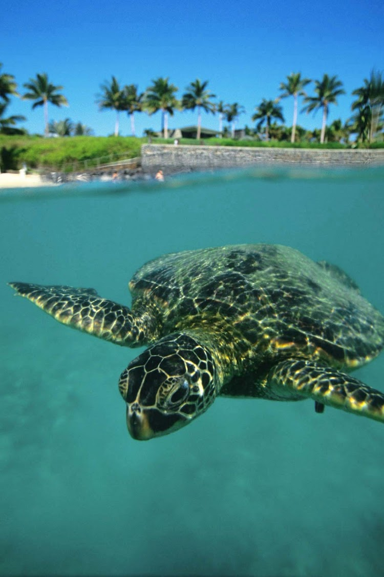 A green sea turtle, called honu in the Hawaiian language, gets ready for his closeup. Sea turtles have graced the oceans for 75 million years.