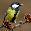 Birds live wallpaper br icon