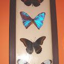 Butterflies (preserved)
