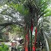 christmas palm, lipstick palm