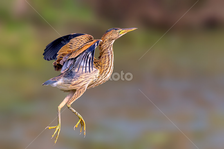Dancing in the air by Roberto Melotti - Animals Birds ( bird, flight, flying, roberto melotti, ixobrychus minutus, nikon d810, little bittern, tarabusino,  )